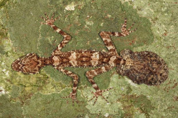 the_cape_melville_leaf-tailed_gecko_saltuarius_eximius._photo_by_conrad_hoskin