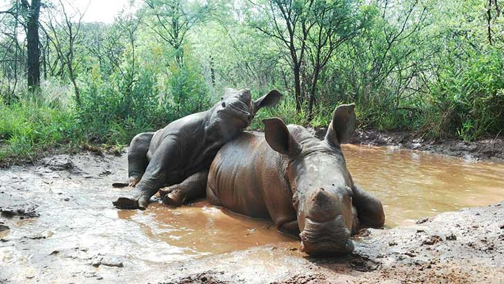 baby_rhinos_playing_mud