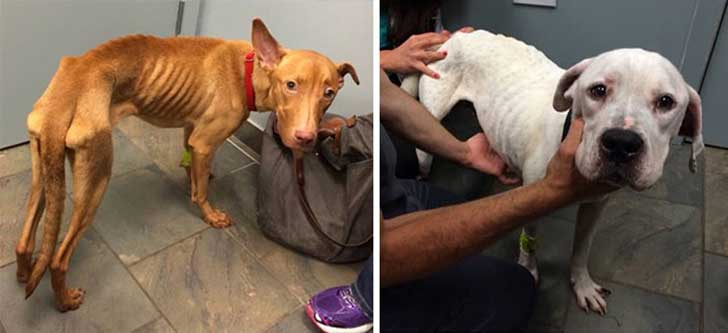 two-starving-dogs-transform-rescued-trio-animal-foundation-chicago-9