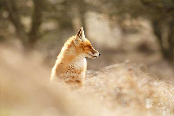 zen-foxes-roeselien-raimond-8__880