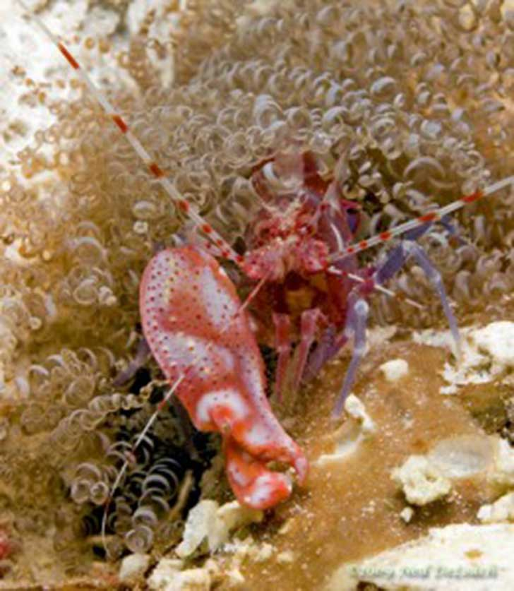Red-Snapping-Shrimp