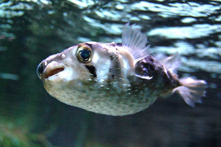 Short-Spined-Porcupinefish