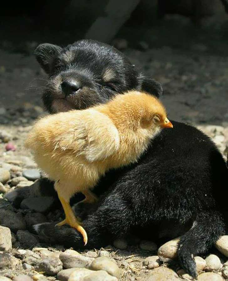 unlikely-sleeping-buddies-animal-friendship-291__605