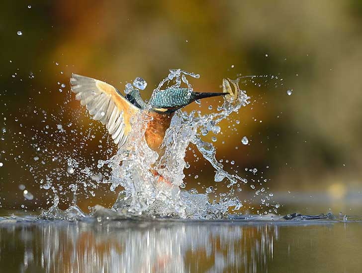 perfect-kingfisher-dive-photo-wildlife-photography-alan-mcfayden-33
