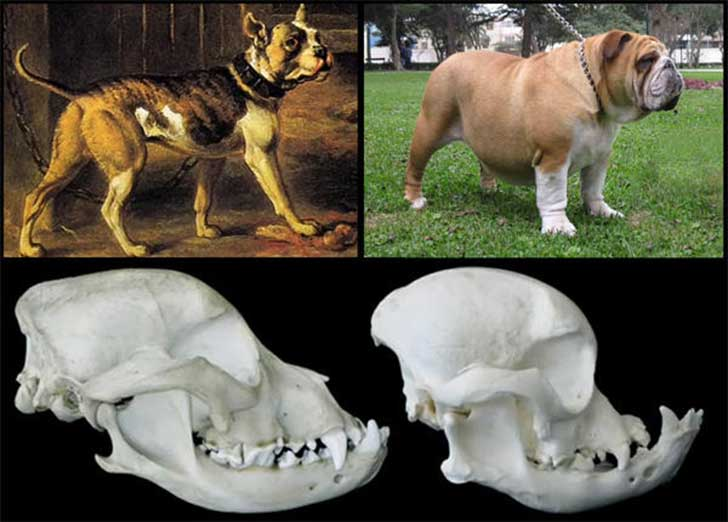 Problems With Selective Breeding In Cats