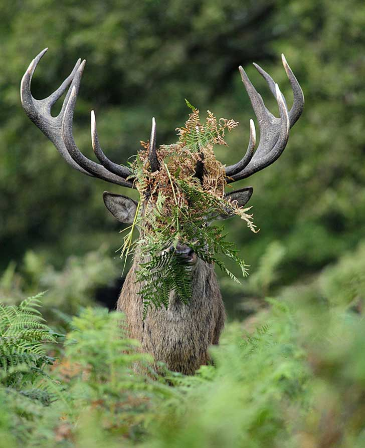 comedy-stag_3497563b