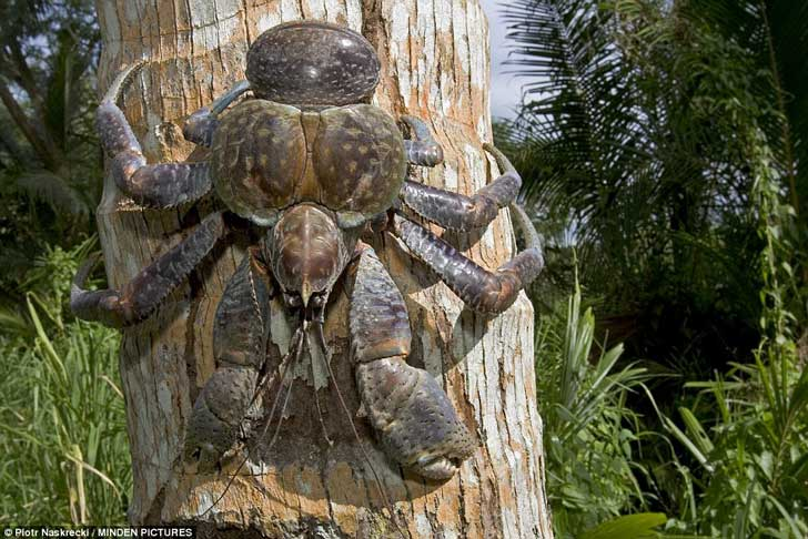 30DEAFC900000578-3431481-Coconut_crabs_also_known_as_robber_crabs_or_palm_thieves_can_liv-a-27_1454582612754