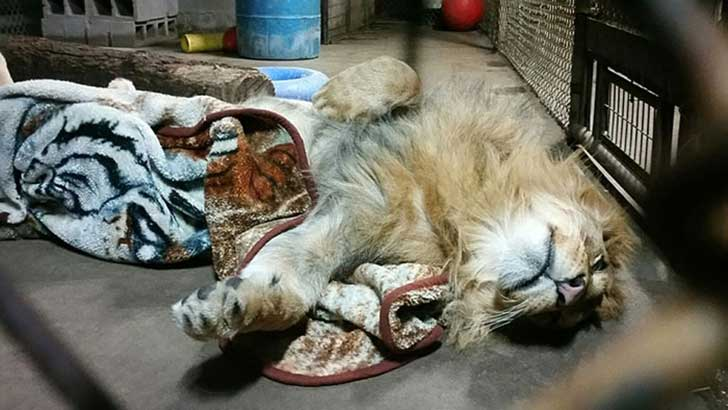 rescued-african-lion-sleeping-with-blanket-13