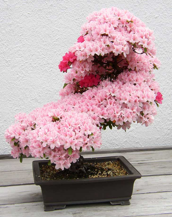 amazing-bonsai-trees-1-1-5710e7828a6d0__700