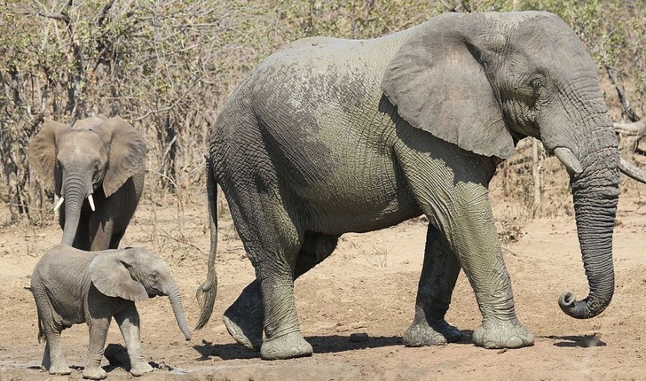 african_bush_elephant_loxodonta_africana_at_punda_maria_kruger_national_park_south_africa-_includes_lots_of_baby_elephant-_20591038820-jpg-1000x0_q80_crop-smart