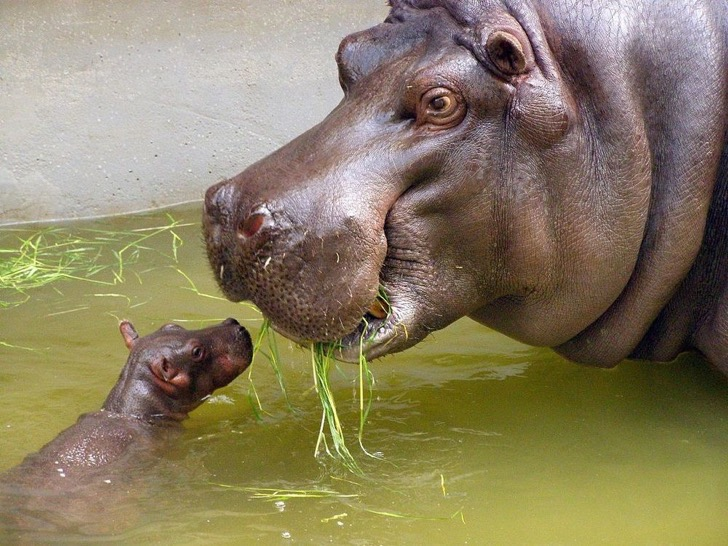 mother_and_very_small_baby_hippo-jpg-1000x0_q80_crop-smart
