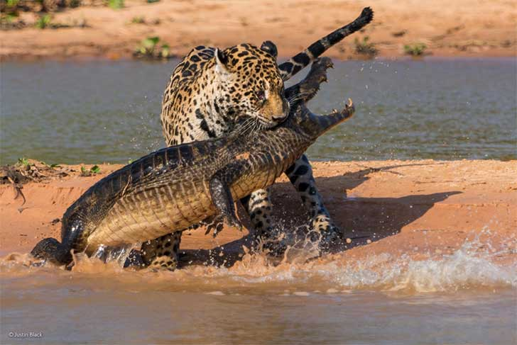 apex-predators-by-justin-black-from-the-us