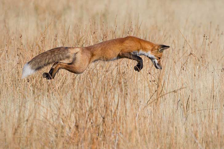 lucky-pounce--connor-stefanison-from-canada-photographed-this-fox-seconds-before-it-was-about-to-pounce-on-a-mouse-in-wyomings-yellowstone-national-park