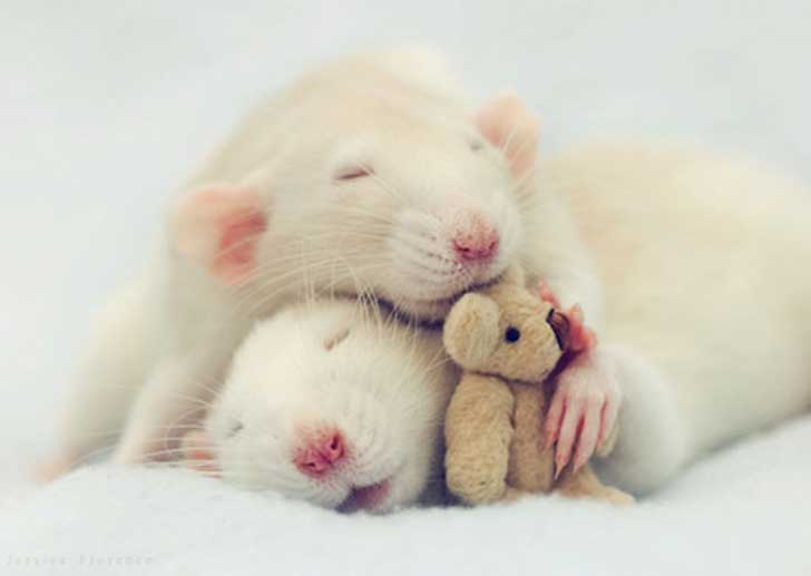 2-rats-snuggling-teddy-JF