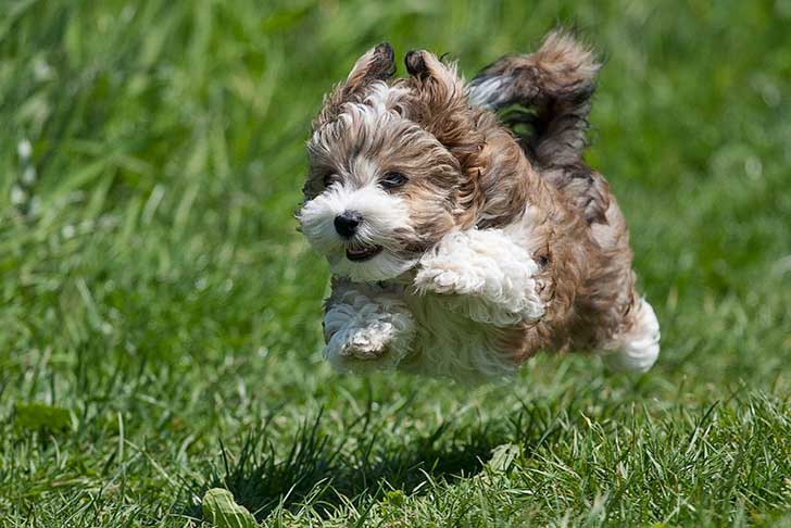 Flying-Brown-Havanese-Puppies-1