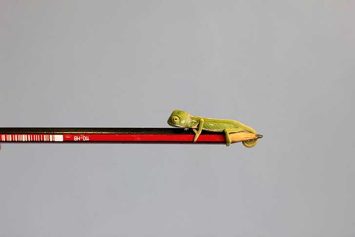 cute-baby-chameleons-hatch-taronga-zoo-sydney-6