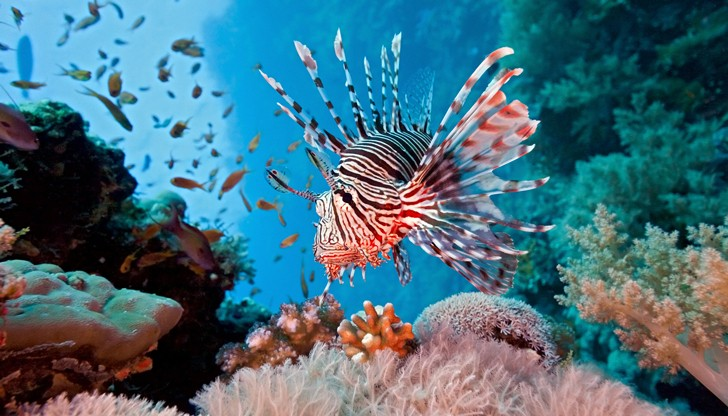 lionfish-coral-reef-728x416