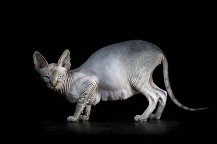 sphynx-cat-photos-by-alicia-rius-5__880