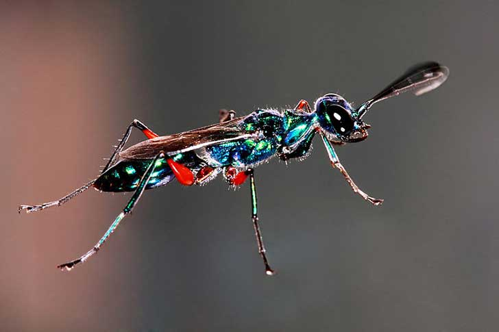 800px-Emerald_Cockroach_Wasp