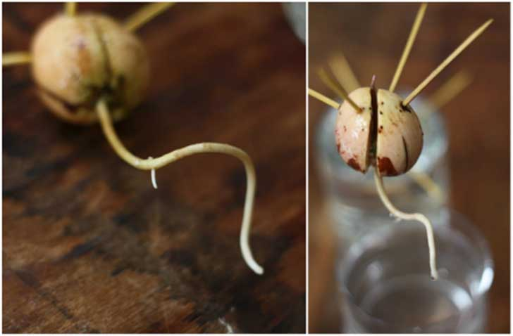 Avocado-Root-Growth