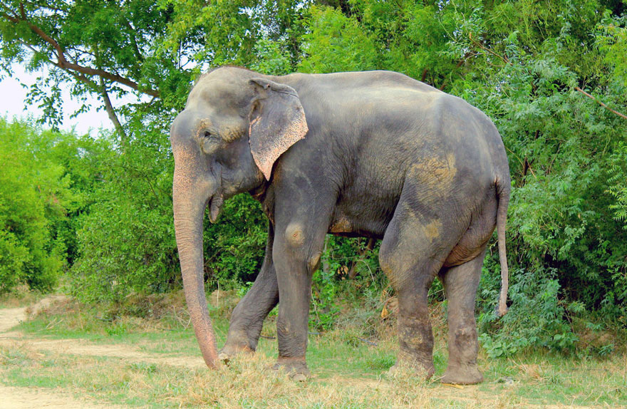 crying-elephant-raju-rescued-chained-50-years-1