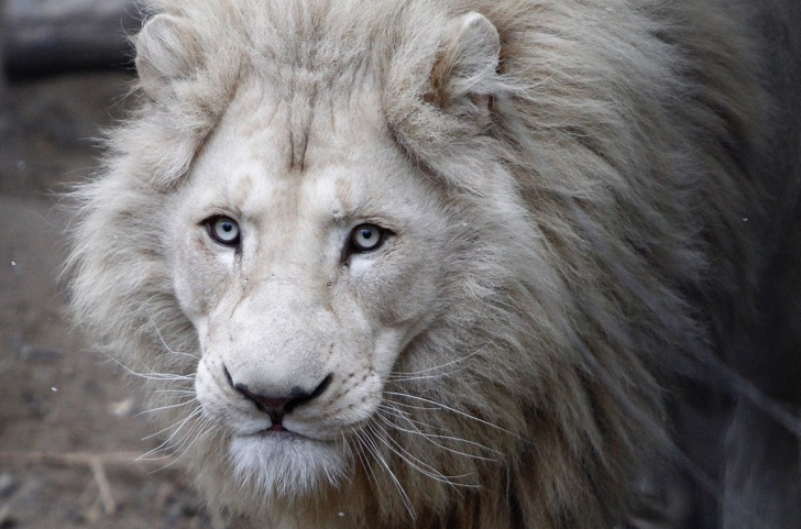A four-year-old white lion Semuel is seen at the zoo in Tbilisi, December 16, 2013. Four white lion cubs were born on December 10 and three survived at Tbilisi Zoo. The white lions, which are only found in the Timbavati nature reserve in South Africa, are not albinos but a genetic rarity, according to the zoo. REUTERS/David Mdzinarishvili (GEORGIA - Tags: ANIMALS SOCIETY) - RTX16L0Y
